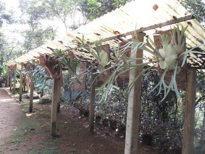 air-ferns-at-the-gurukula-botanical-sanctuary-india