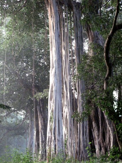 tall-world-famous-banyon-trees-in-southern-india